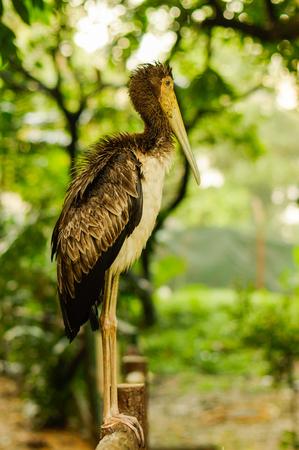 a white stork sitting on bridge railings ciconia at rainy day. stork. Stock Photo