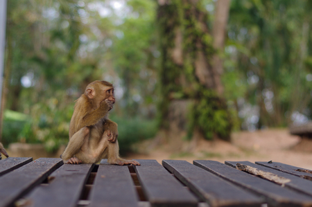 a long tail macaque monkeys in Thailand sitting on a wooden place Stock Photo