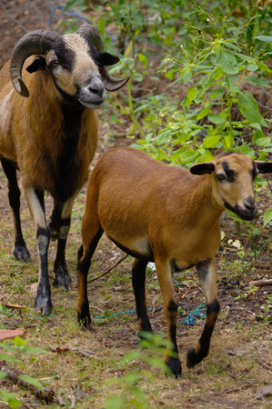two goats grazing or walking on a path