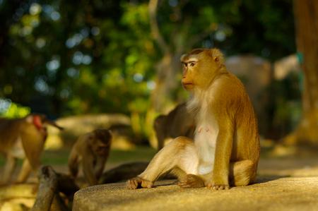 A macaca monkey family eating lot of fruits, Phuket Thailand.