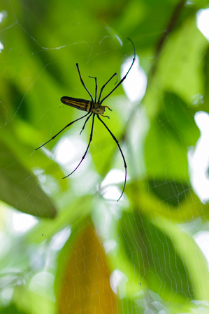 Thailand insect large forest Nephila spider with long legs on spider web on a green background
