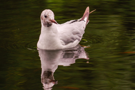 One white duck swim in pond. Still float action. Water with dark shadow and white reflection. Stock Photo