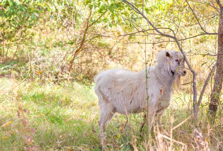 gently: gently sheep