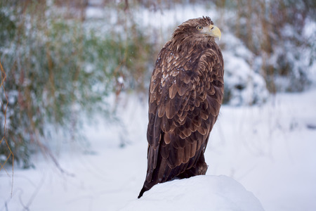 coldness: eagle in the winter
