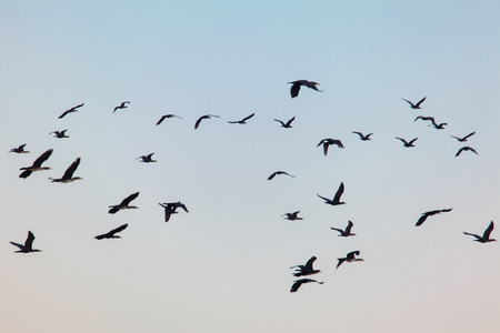 migrations: flying flock of wild birds