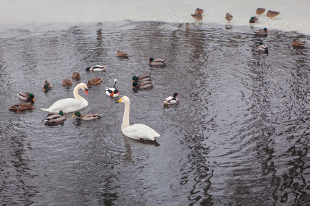 the ornithology: wild birds in the winter water