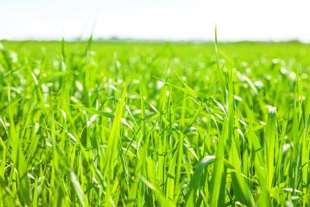 green meadow: fresh grass field