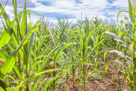 tillable: agriculture corn field Stock Photo