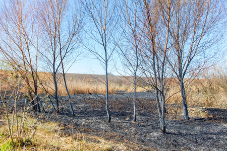 calamity: trees after fire