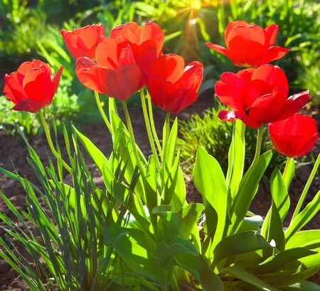 holand: garden of red tulips