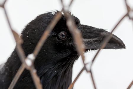 black raven: black raven in cage