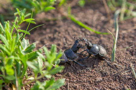 two beetles fighting