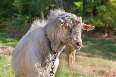 gently goat portrait