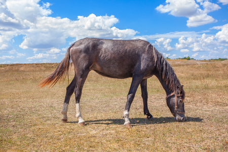 shire horse: one horse grazing in the steppe Stock Photo