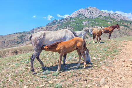 horseflesh: Horses family in the mountains