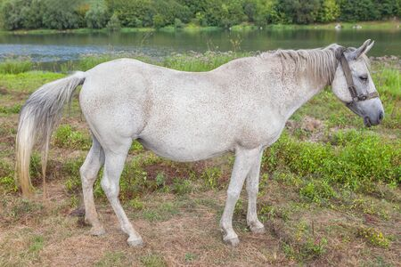 shire horse: beautiful white mare