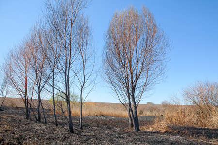 scald: Trees after fire