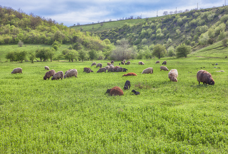 mamma: flock of sheep on green background Stock Photo