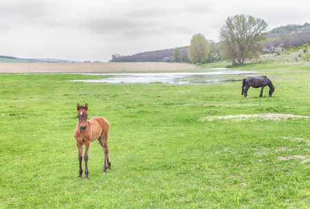 green meadow with horses Stock Photo