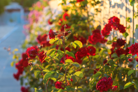 red roses in the garden Stock Photo