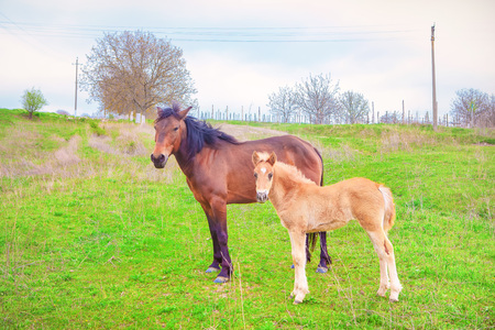 brown mare and foal Stock Photo