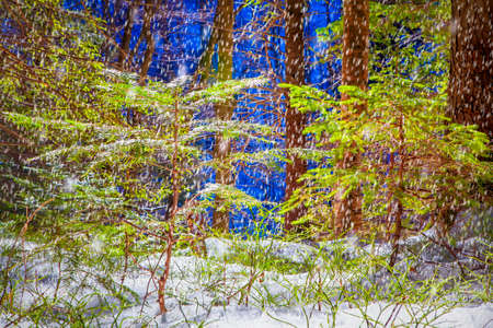 snow falling in the forest Stock Photo
