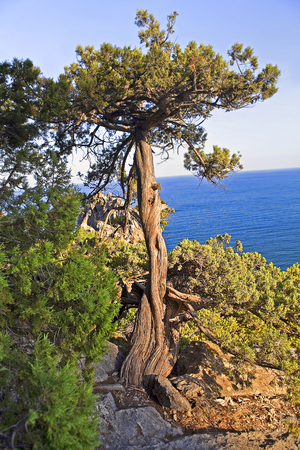 old tree on the cliff