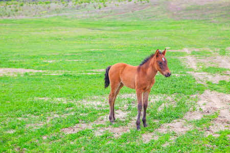 foal on the green field Stock Photo