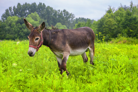 young cute donkey