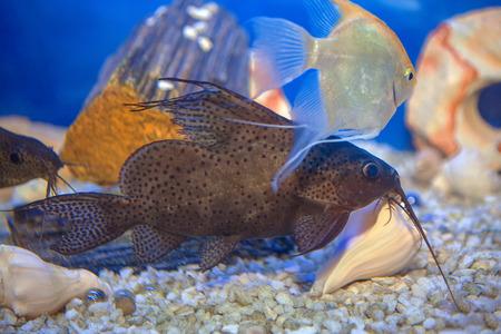 aquarium catfish in blue aquarium water Standard-Bild