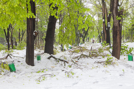 spring park with green trees after snowy storm Stock Photo