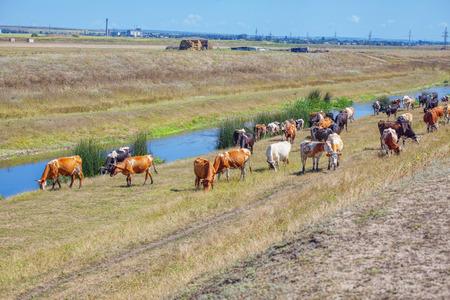 cows near river Foto de archivo