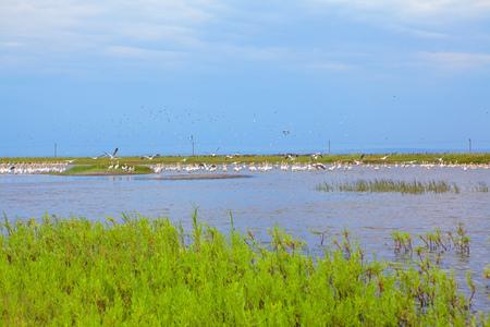pelicans in the wilderness