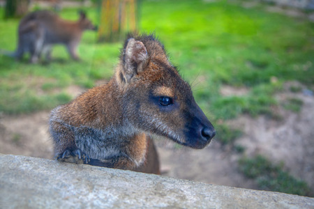portrait of curious wallaby baby