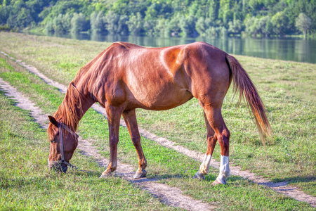red horse grazing on the river shore