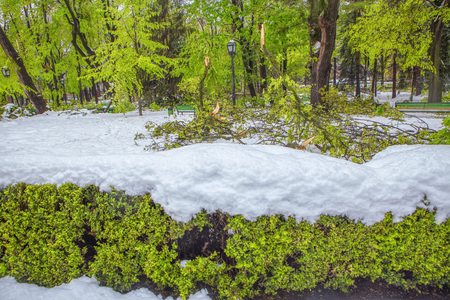 green bushes covered by snow in the springtime Stock Photo
