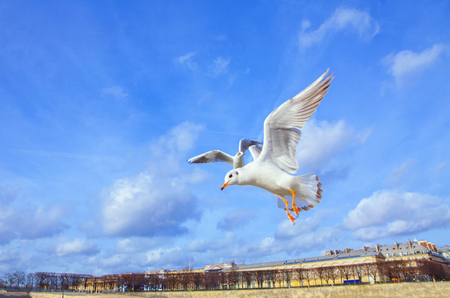 Seagull flying with spread wings Standard-Bild