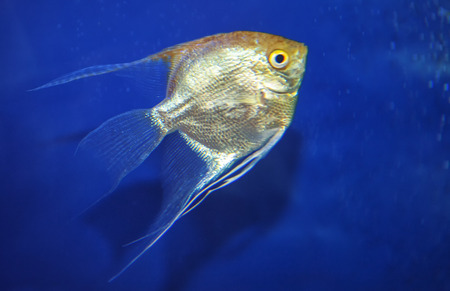 golden fish in blue transparent water