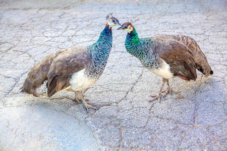 couple of peacocks lovely kissing Imagens