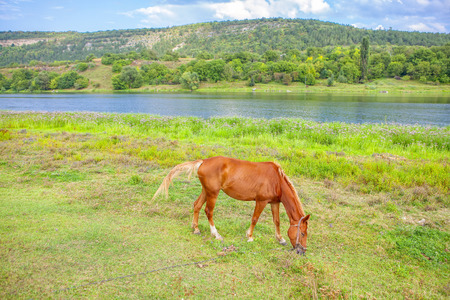 hermoso caballo rojo pastando en la orilla del río