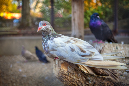 beautiful purebred pigeon standing on a log