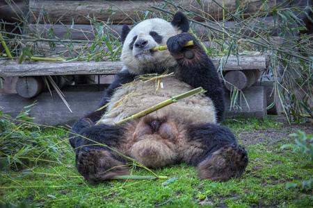 Cute funny Panda Eating Bamboo Standard-Bild - 121392944