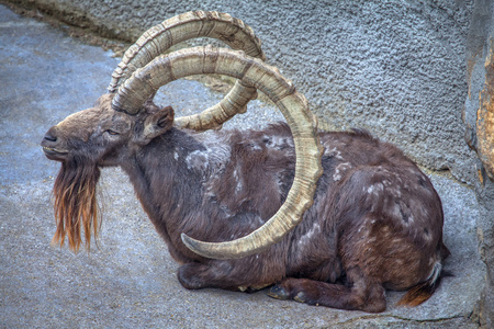 mountain goat with huge round horns