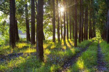 światło słoneczne przez drzewa w letnim lesie