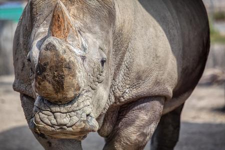 Sumatran rhino portrait ,image with details