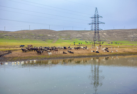 sheep and goats grazing along river bank