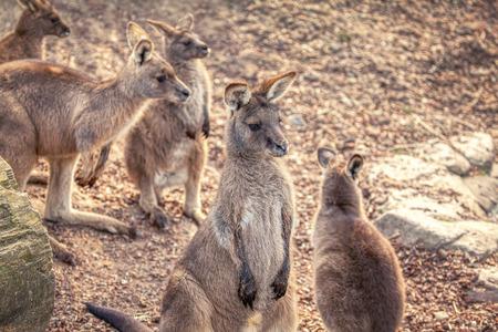 group of Western Gray Kangaroo