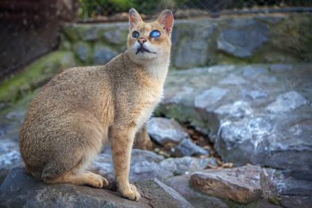 big wild cat with blue eyes