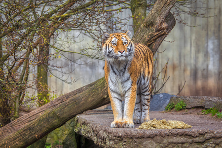 Siberian Tiger standing on natural area