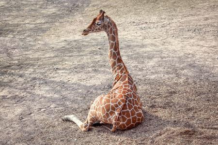 Giraffe lying down on the ground Banco de Imagens - 124902878